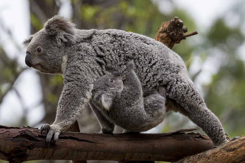 An 8-and-a-half-month-old koala joey named Burra is carried by his mother, To...