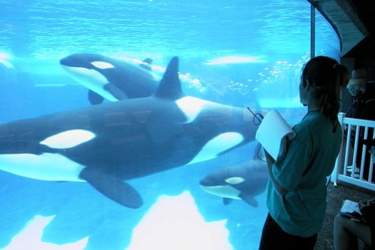 Research on Sea World's captive orcas suggests killer wha...