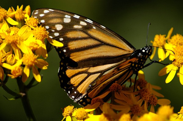Monarch butterfly. Every year, 100 million Monarch butter...