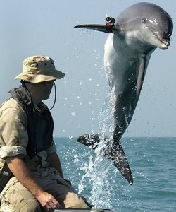 Navy working dolphin, K-Dog, leaps out of the water on March 18, 2003.