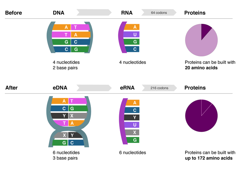 In this diagram, San Diego biotech company Synthorx explains how DNA with an ...
