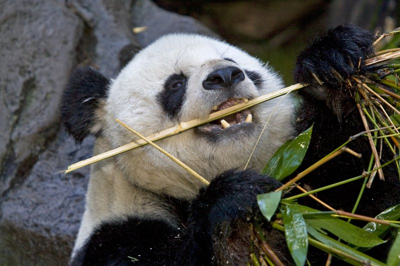Gao Gao eats some bamboo at the San Diego Zoo.