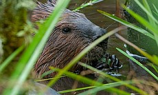 Beaver nibbling twigs, shot through foreground of long green reeds, Ontario, Canada.