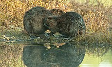 Two beavers grooming by water's edge with image reflection, Ontario, Canada.