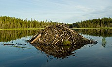 Beaver lodge with reflection, Ontario, Canada.