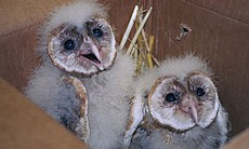 Young owls cared for by the Fund for Animals.