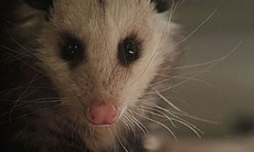"We called this opossum ""Sneezy"" - we suspected that she suffered a head trauma and brain damage after a probable predator attack."