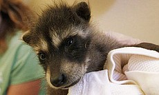 This baby raccoon (or kit) is still bottle feed...