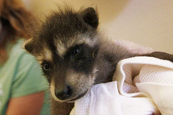 This baby raccoon (or kit) is still bottle feeding and will be in rehabilitation for another six to eight months.