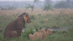 Lions in Rain, Meru National Park, Kenya.