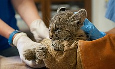 A young bobcat kitten was rescued by Border Control after getting stuck in a cactus. Several dozen cactus spines had to be removed from this little guy.