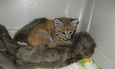 A young bobcat kitten recovers after being rescued by Border Control after getting stuck in a cactus. Several dozen cactus spines had to be removed from this little guy.