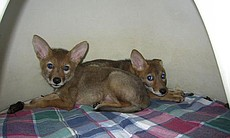 Two orphaned coyote pups in a recovery den after being examined.