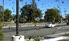 Swarm of bees invade busy highway, California.