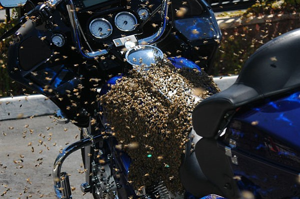 Swarm of bees on motor bike, California.