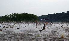 Jumping carp on the Illinois River near Havana.
