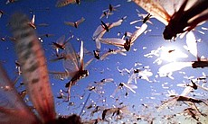 Swarms of desert locusts, Morocco.