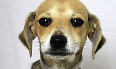 Remy was among 25 dogs from a crowded Los Angeles shelter taken to the San Di...