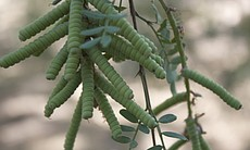The pod of screwbean mesquite, a tree native to the Colorado River Delta. May...