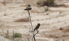 A pair of burrowing owls in the Mexicali Valley. May 30, 2014.