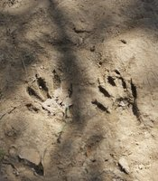 Animal footprints at the CILAS restoration site in the Colorado River Delta. May 30, 2014.