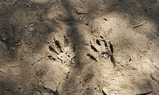Animal footprints at the CILAS restoration site in the Colorado River Delta. ...