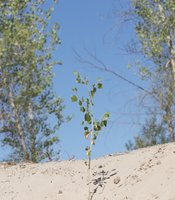 A cottonwood sapling at the CILAS restoration site in the Colorado River Delta. May 30, 2014