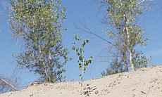 A cottonwood sapling at the CILAS restoration s...