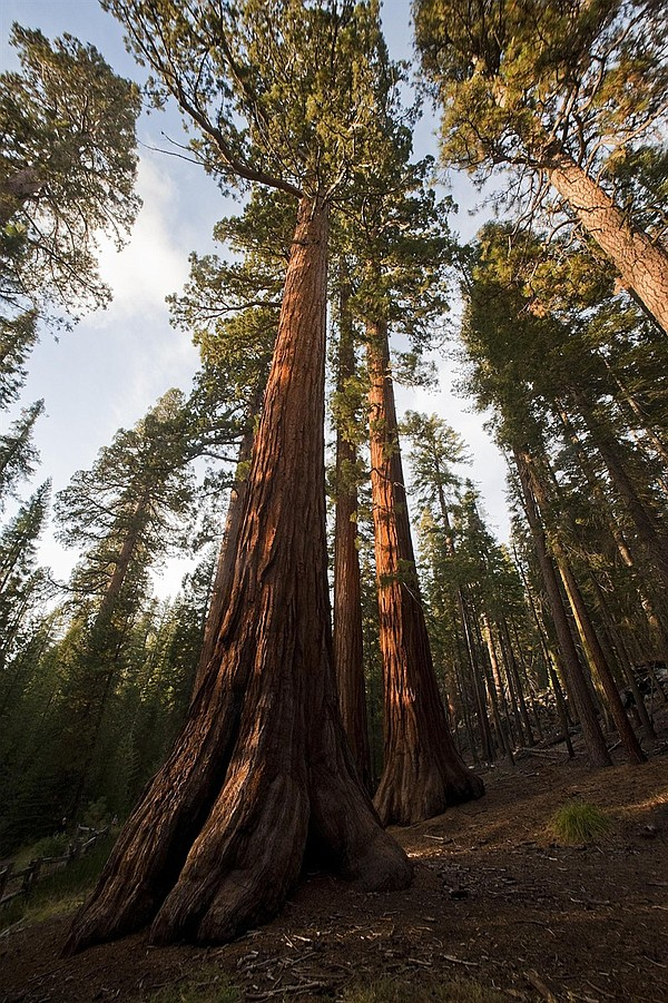 A cluster of large trees in Yosemite.