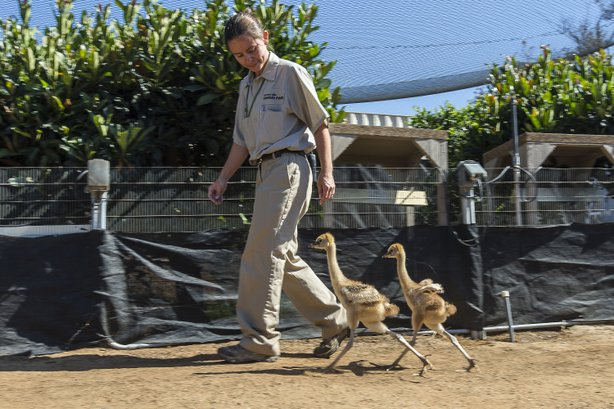 Two East African crowned crane chicks at the San Diego Zoo Safari Park walk with their keeper as part of their daily exercise routine, July 11, 2014.