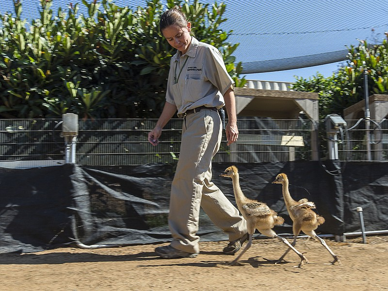 Two East African crowned crane chicks at the San Diego Zoo Safari Park walk w...