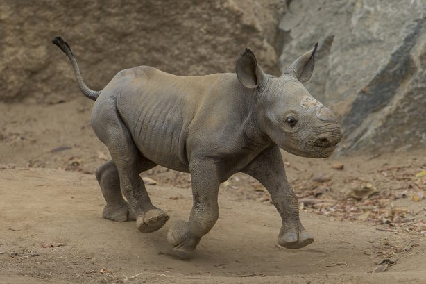 The 6-day-old baby rhinoceros explores its habitat at the San Diego Safari Park, July 18, 2014.