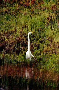 A great egret wades along the east shore of the San Diego Bay National Wildli...