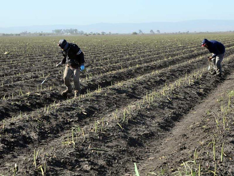 Farm workers hand-pick California asparagus during the 2013 harvest.