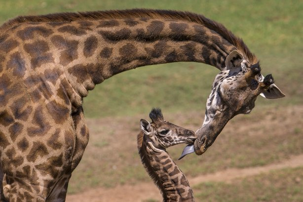 Gowon, a 16-day-old male Masai giraffe at the San Diego Zoo Safari Park, gets a kiss — in the form of a lick — from his mother, Aug. 15, 2014.