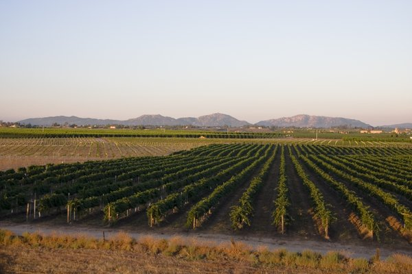 Rows of grapevines in the Temecula Valley, Aug. 6, 2008.
