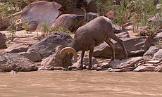 This cinematic journey through the breathtaking scenery of the American West's iconic red rock country features big horn sheep on the San Juan River.