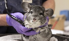 One of the chinchillas rescued by the San Diego Humane Society and SPCA is examined.