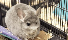 One of the chinchillas rescued by the San Diego Humane Society and SPCA.