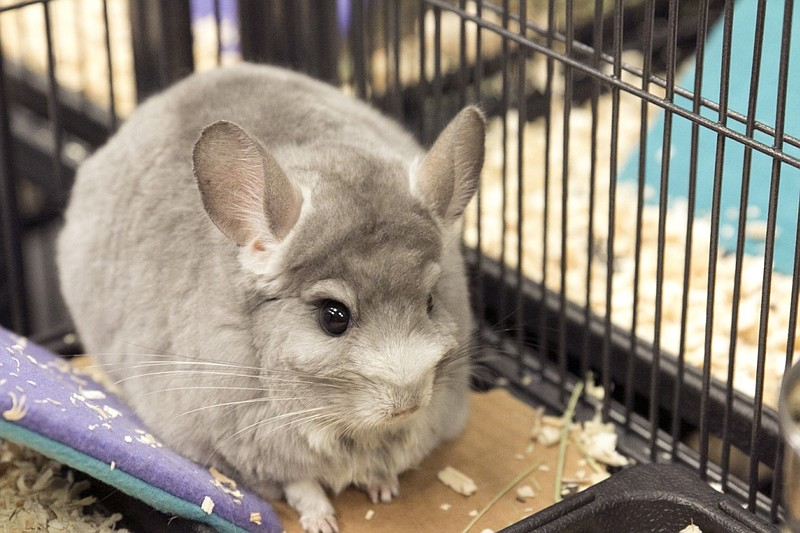 One of the chinchillas rescued by the San Diego...