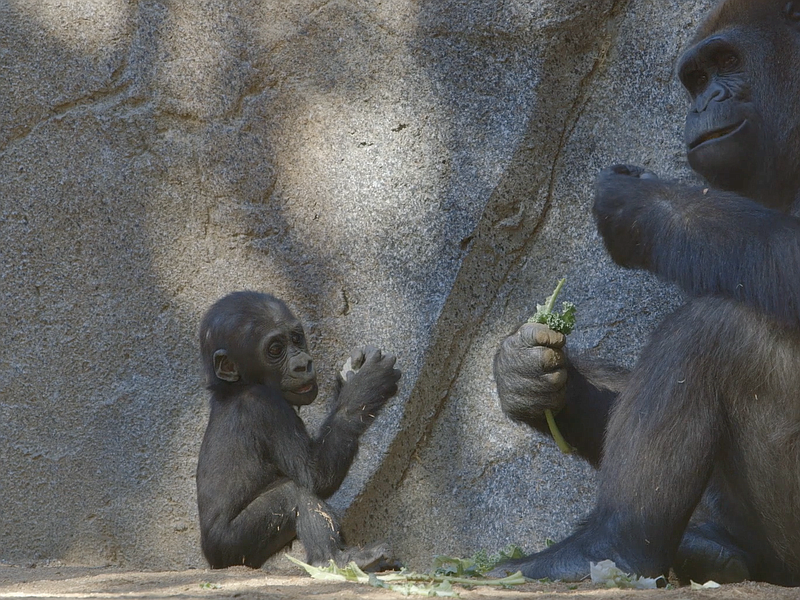 Joanne, a 5-month-old baby gorilla at San Diego Zoo Safari Park, watches her ...