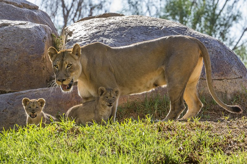 San Diego Zoo Safari Park Takes Pride In Lion Cubs' First