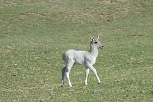 All-White Waterbuck Stands Out At San Diego Zoo Safari Park