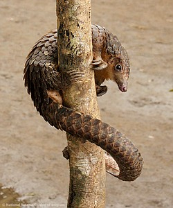 A manis pangolin wrapped around a tree trunk.