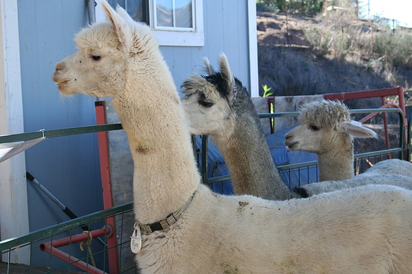 Male alpacas for sale at A Simpler Time farm near El Cajo...