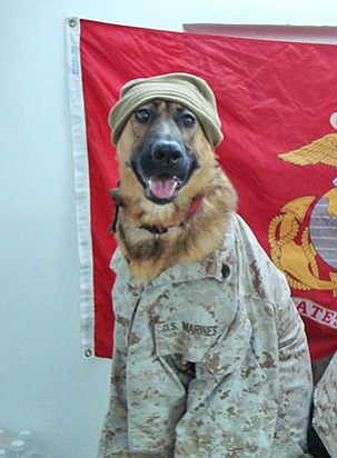 Three-Legged Marine Corps Dog Subject Of New Book (Video) | KPBS