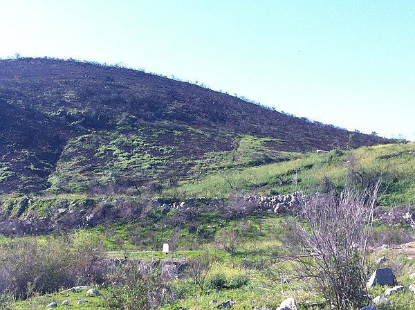 A hillside behind Cal State San Marcos, showing how veget...