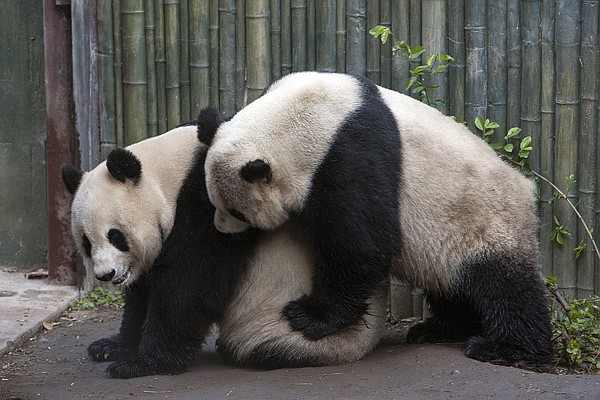 Two giant pandas at the San Diego Zoo are pictured, March...