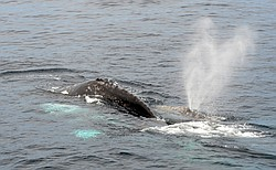 Gray whale off the coast of San Diego, Mar. 17, 2013