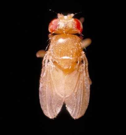 A miniature yellow fruit fly, Feb. 6, 2012.